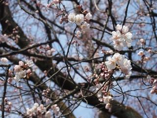 コシノヒガン (1024x768).jpg