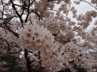 ソメイヨシノ2.jpg