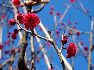 鹿児島紅 (1024x768).jpg
